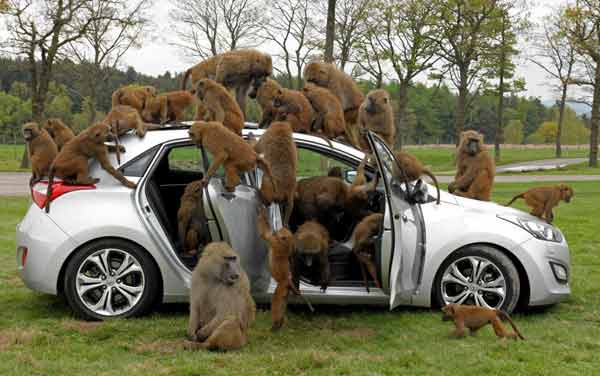 Monkeys go nuts for the toughest car challenge